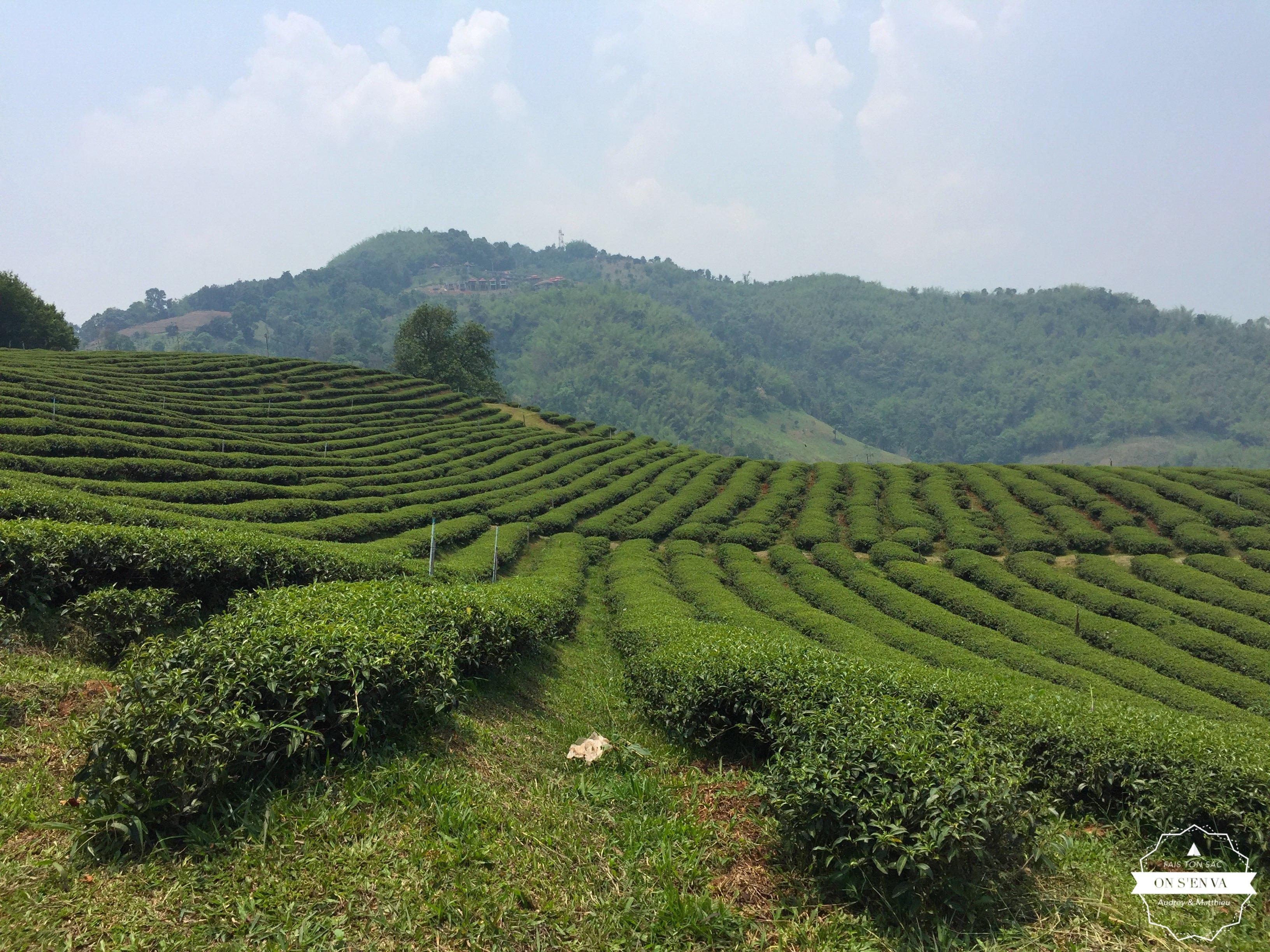 A travers les plantations de thé
