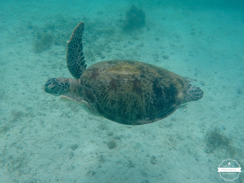 On peut nager avec les tortues