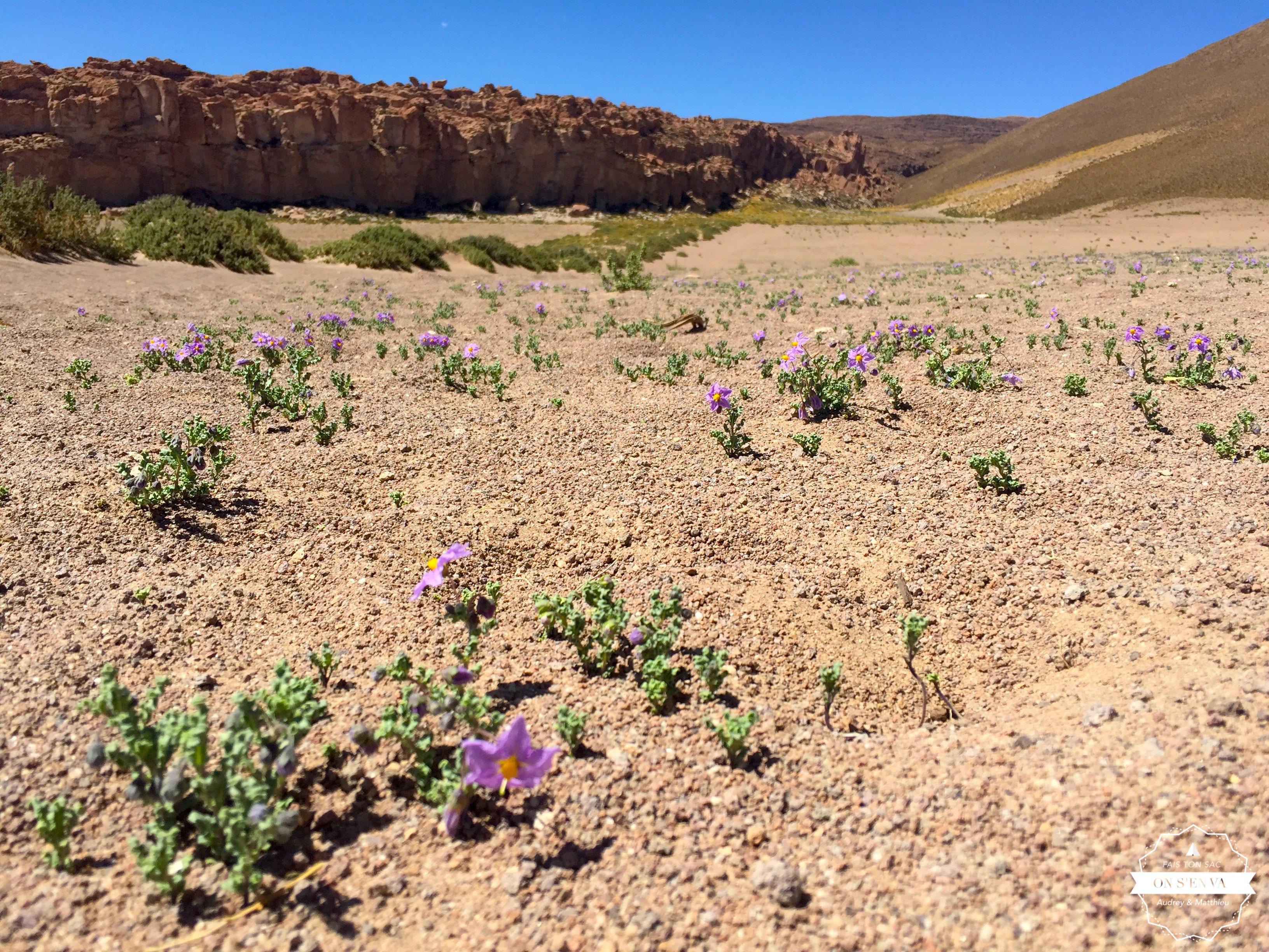 Des fleurs dans le désert