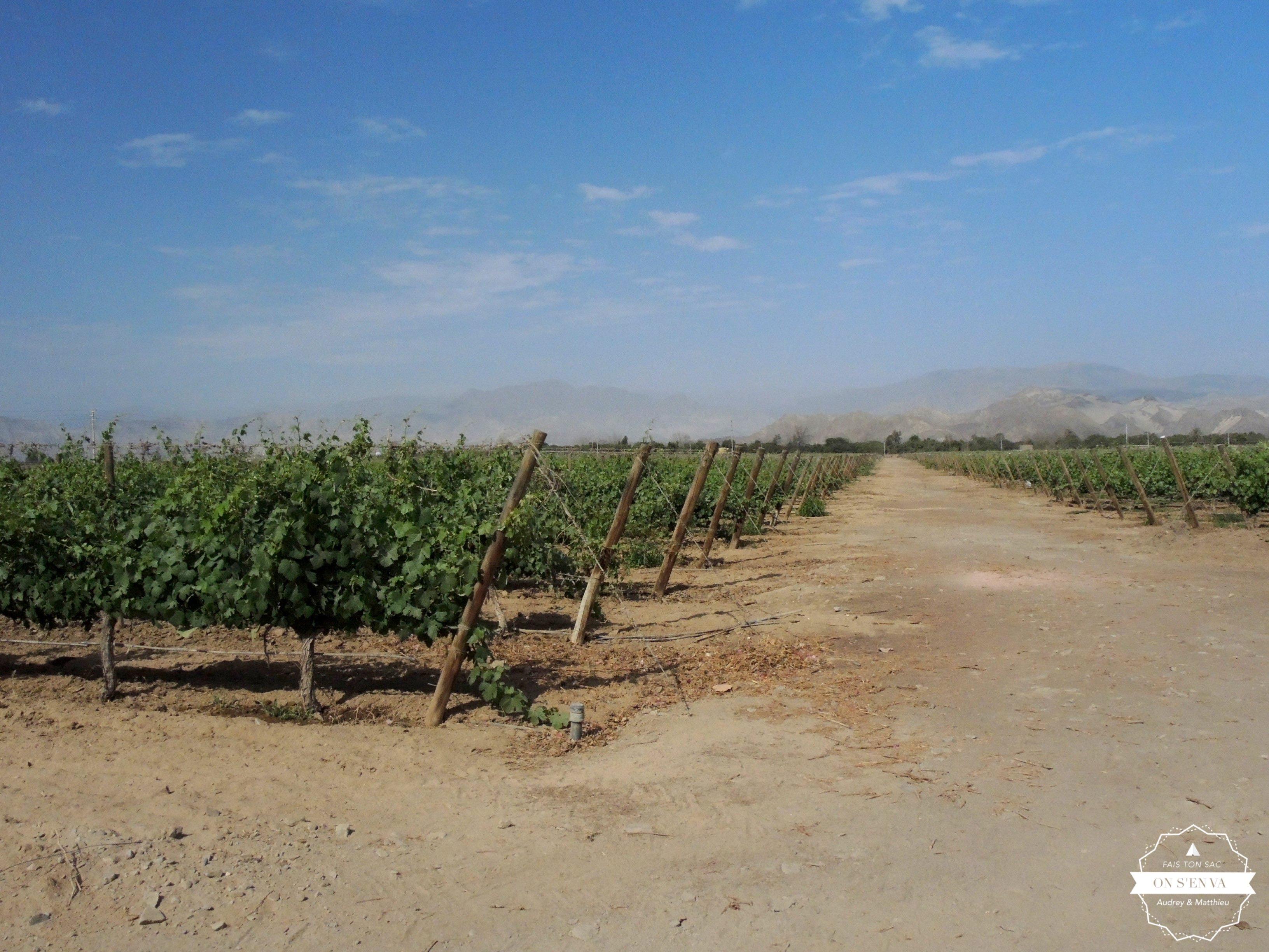 Vignes  de Pisco