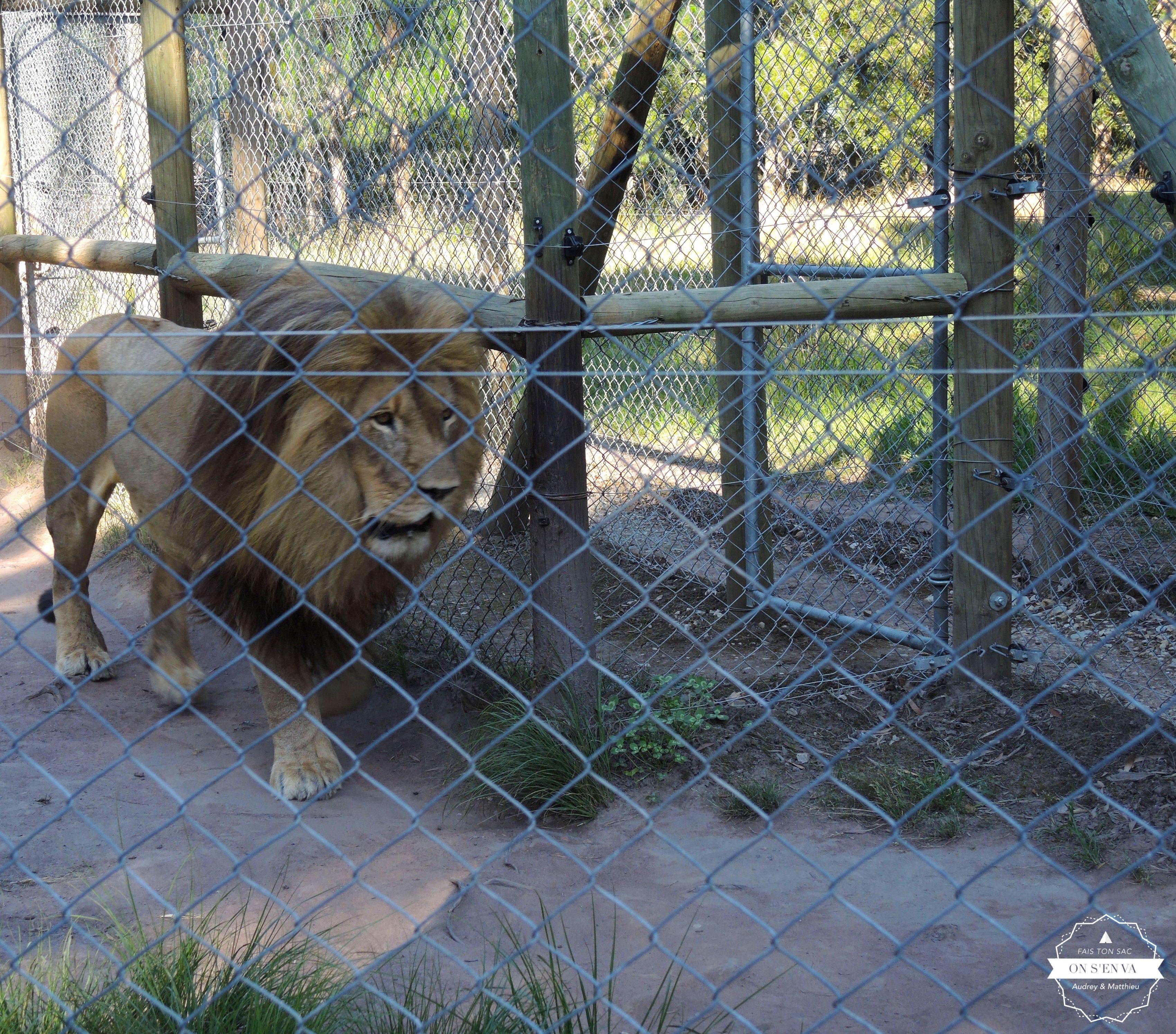 Comme un lion en cage...