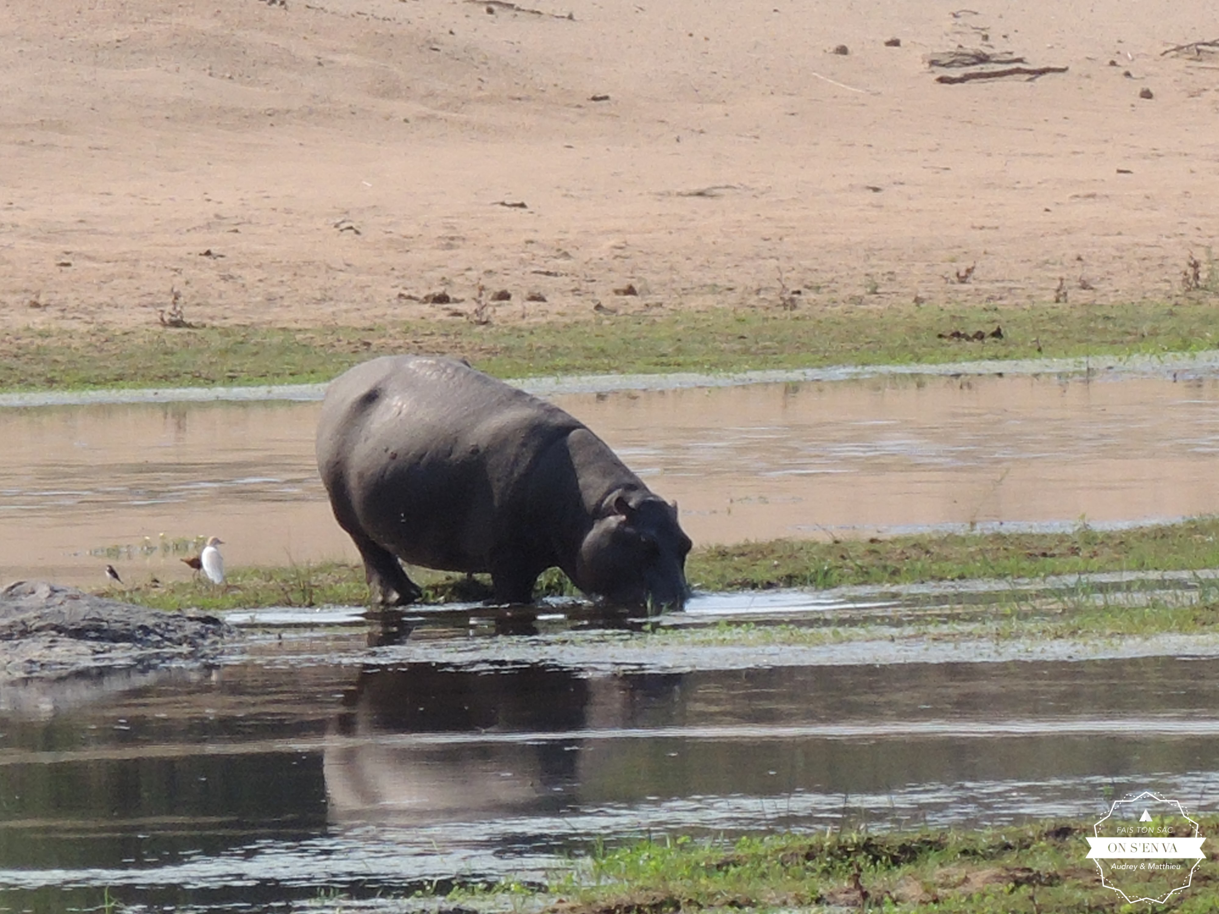 Un hippo hors de  l'eau, enfin!