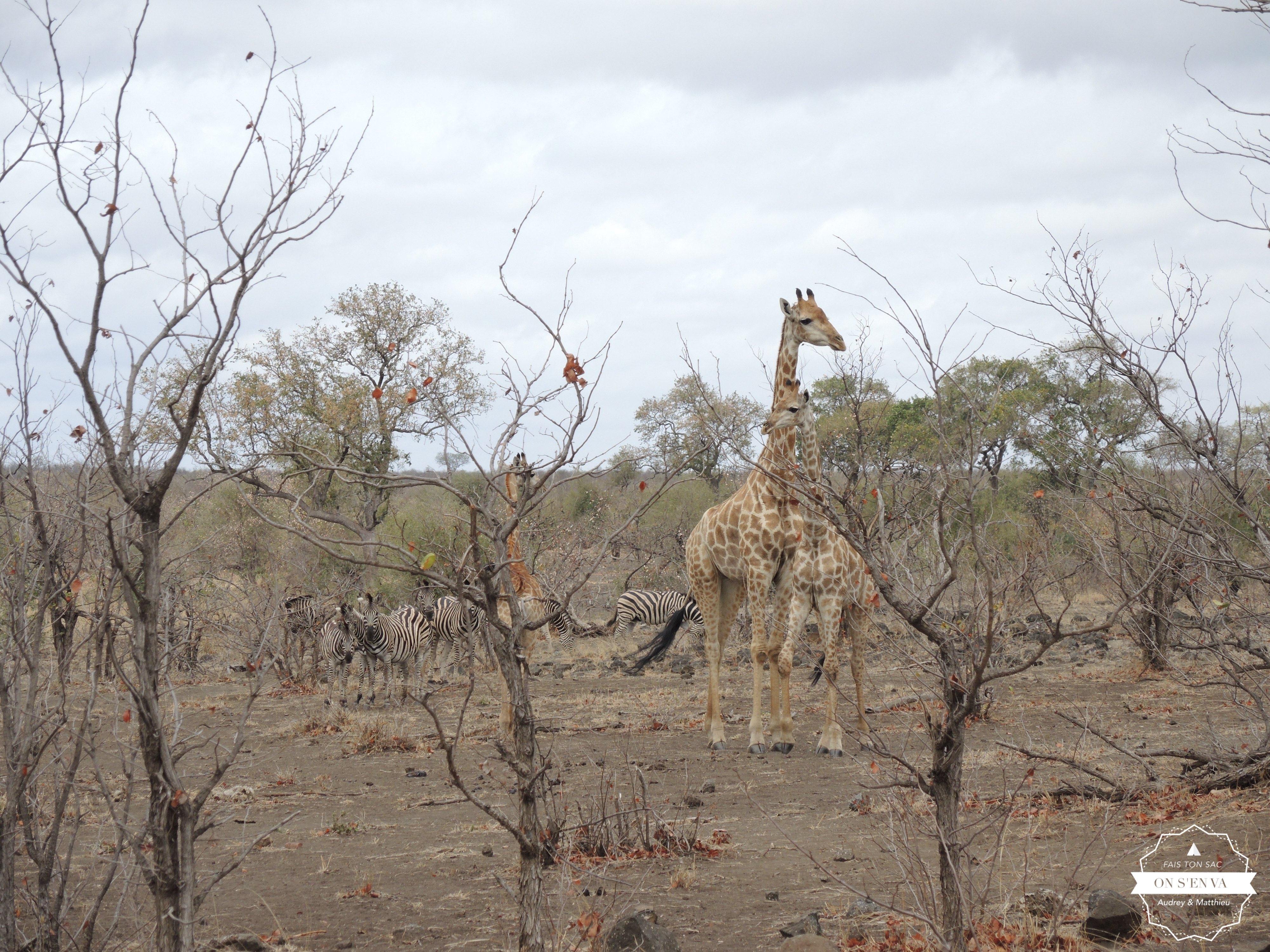 Des girafes bien sûr