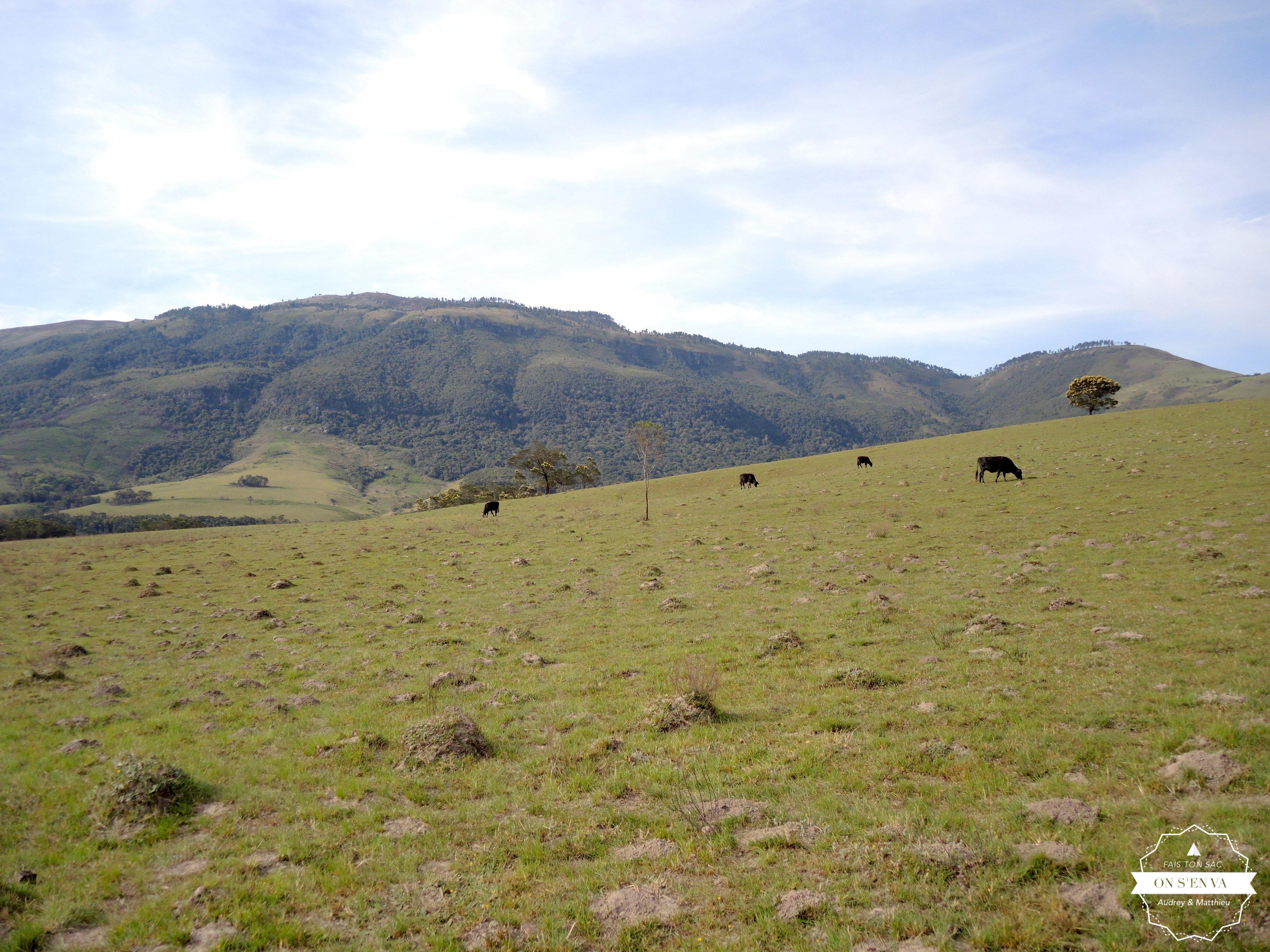 Randonnée avec les vaches