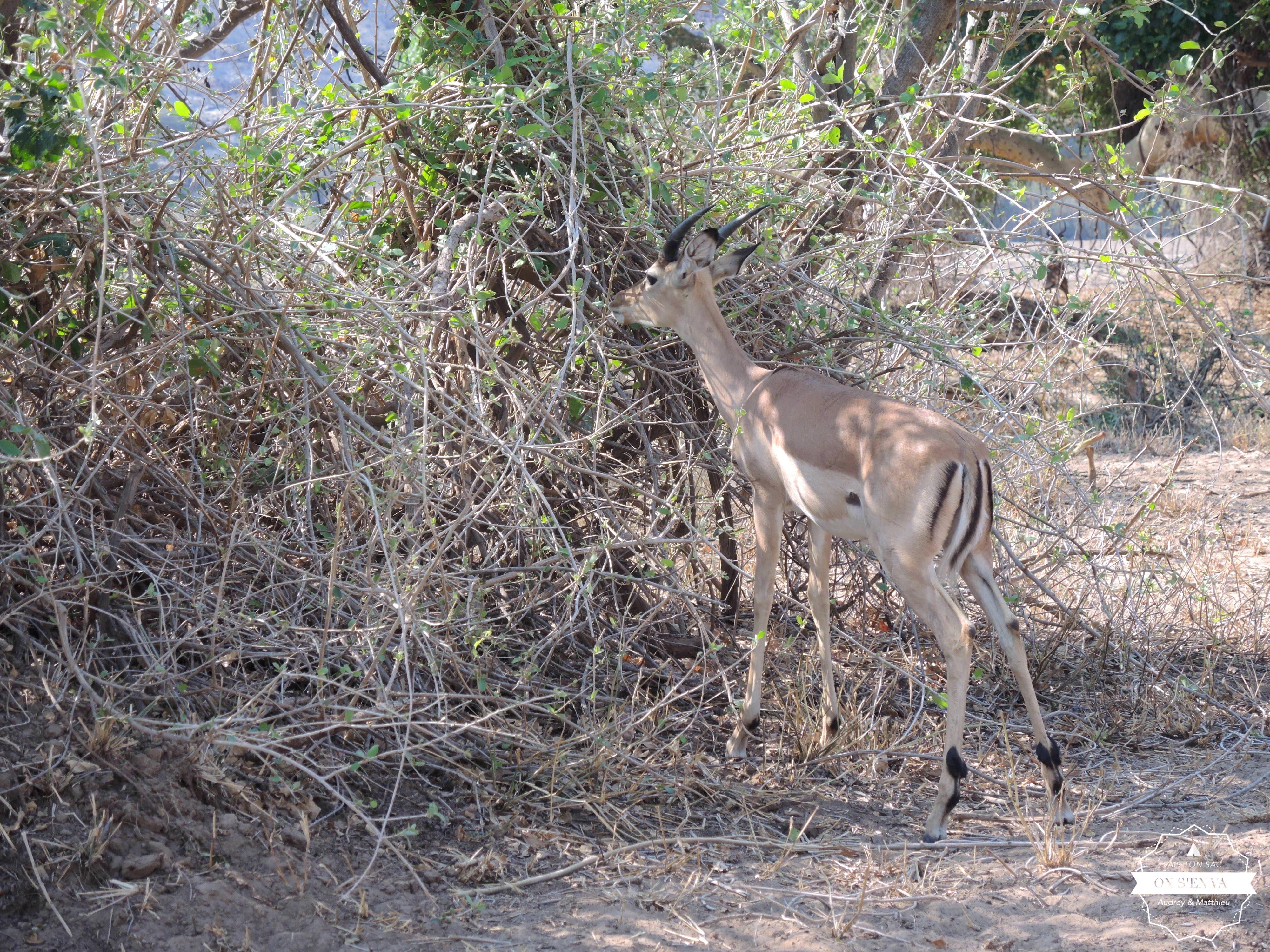 Notre première antilope
