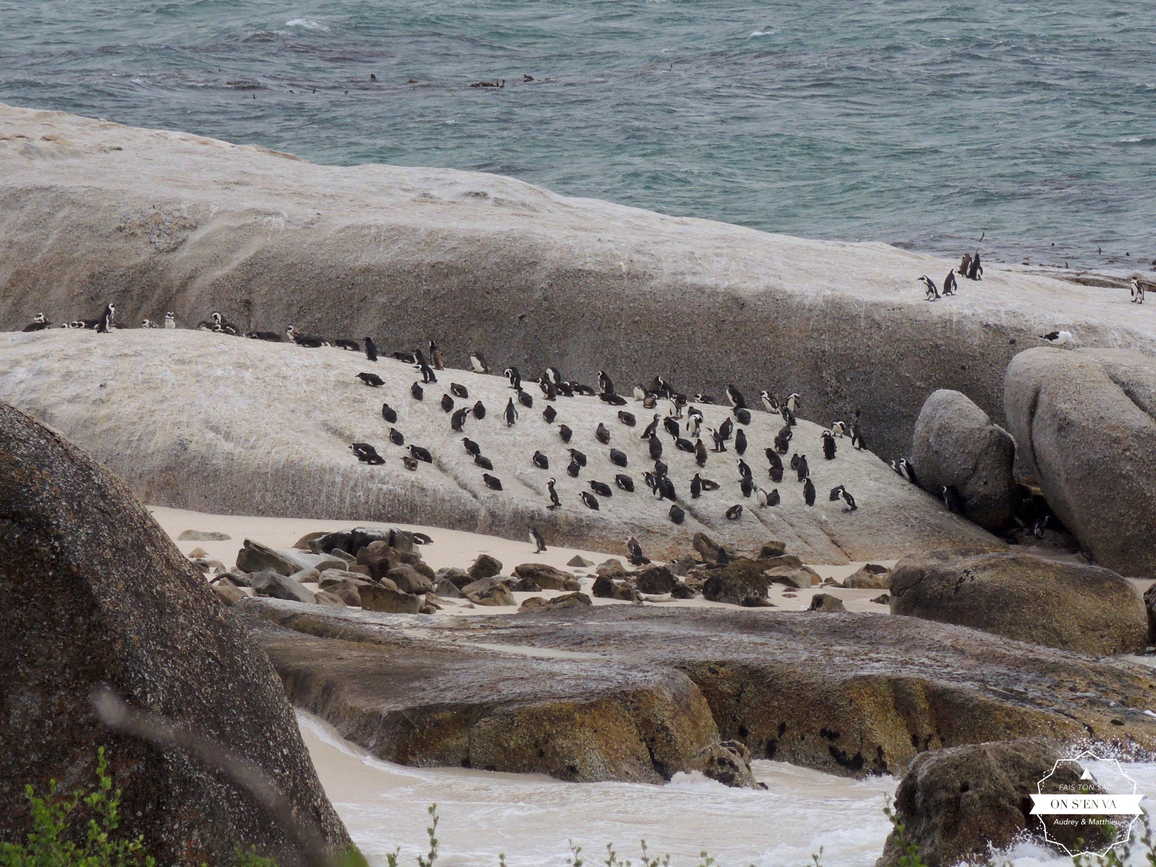 Pingouins à Simon's Town