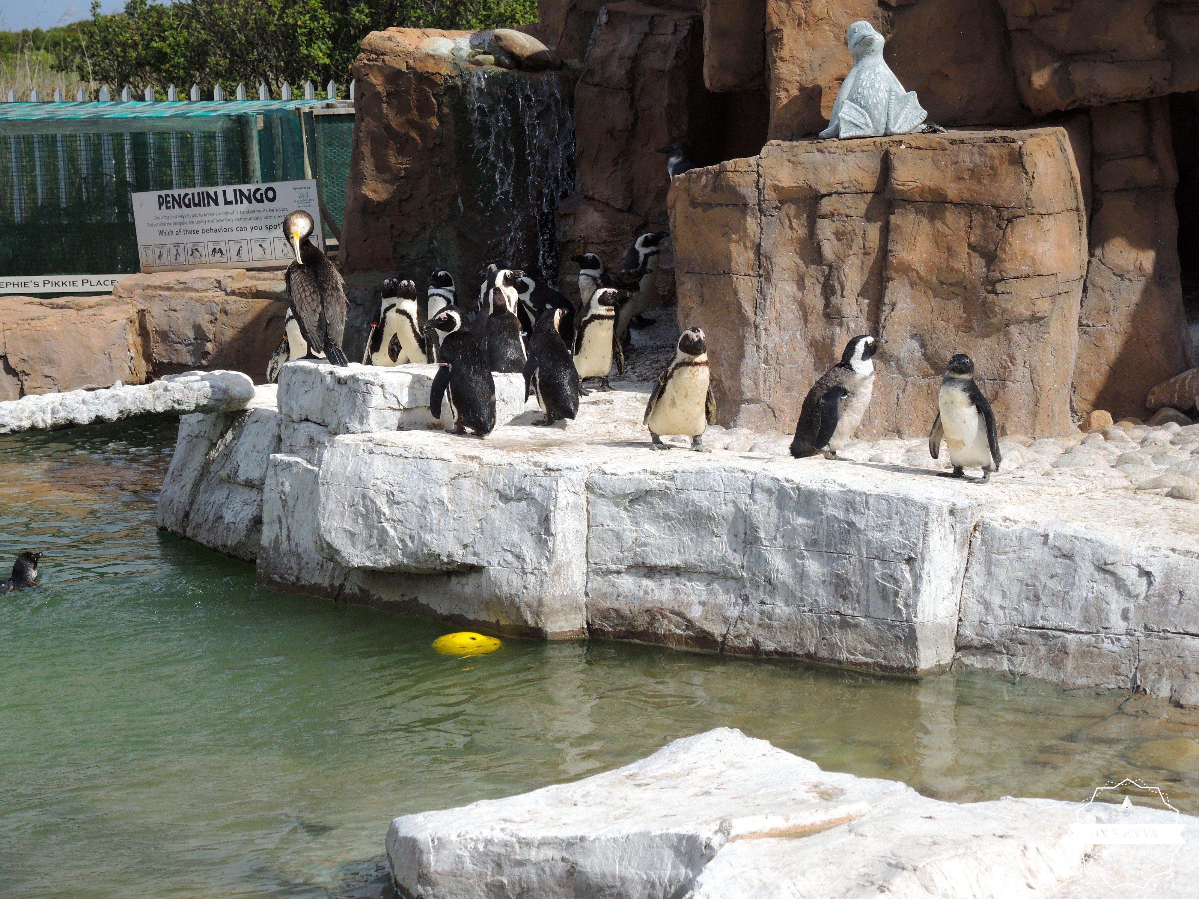 Les pingouins soignés à SAMREC