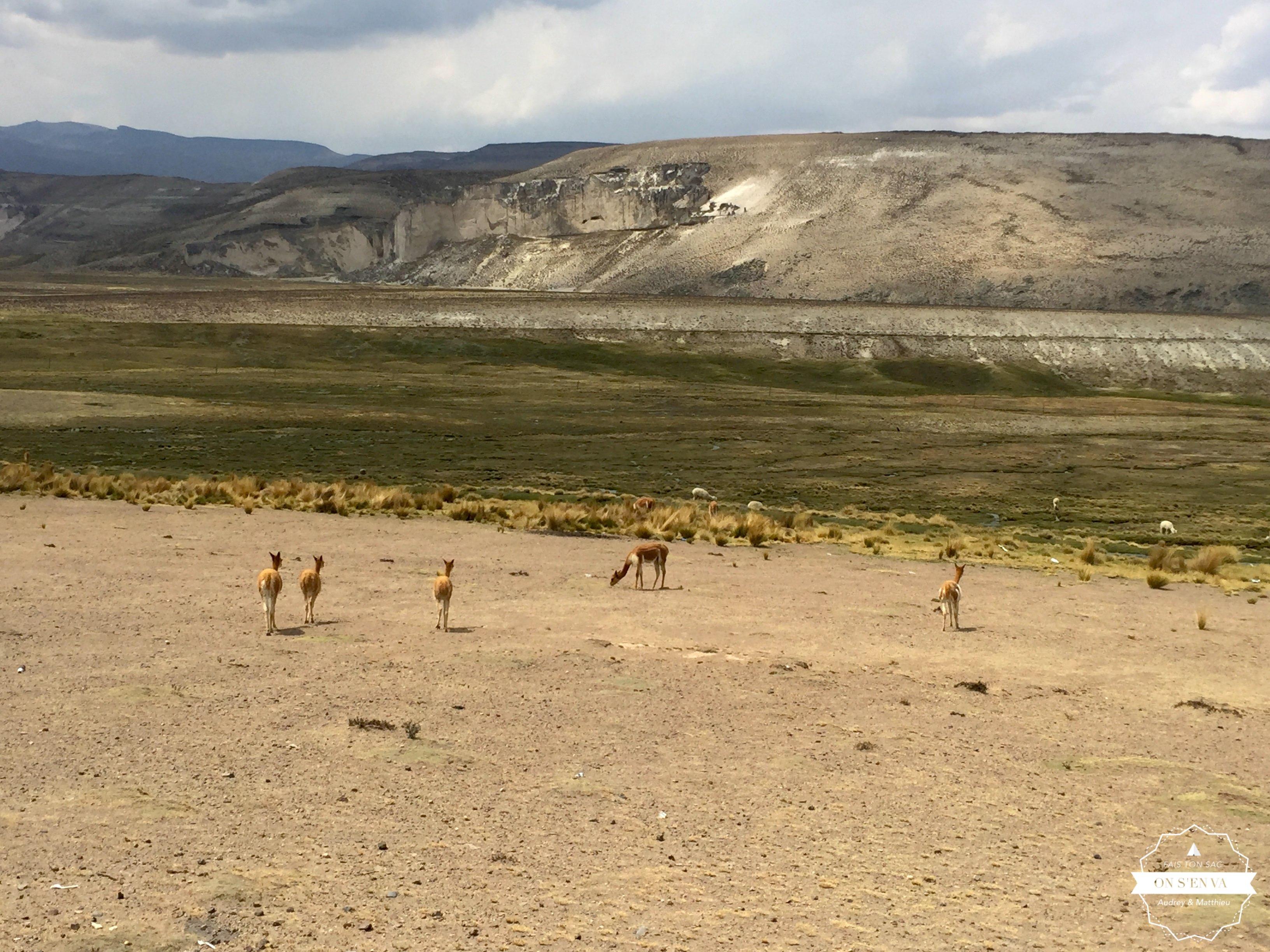 Les vigognes sur le chemin