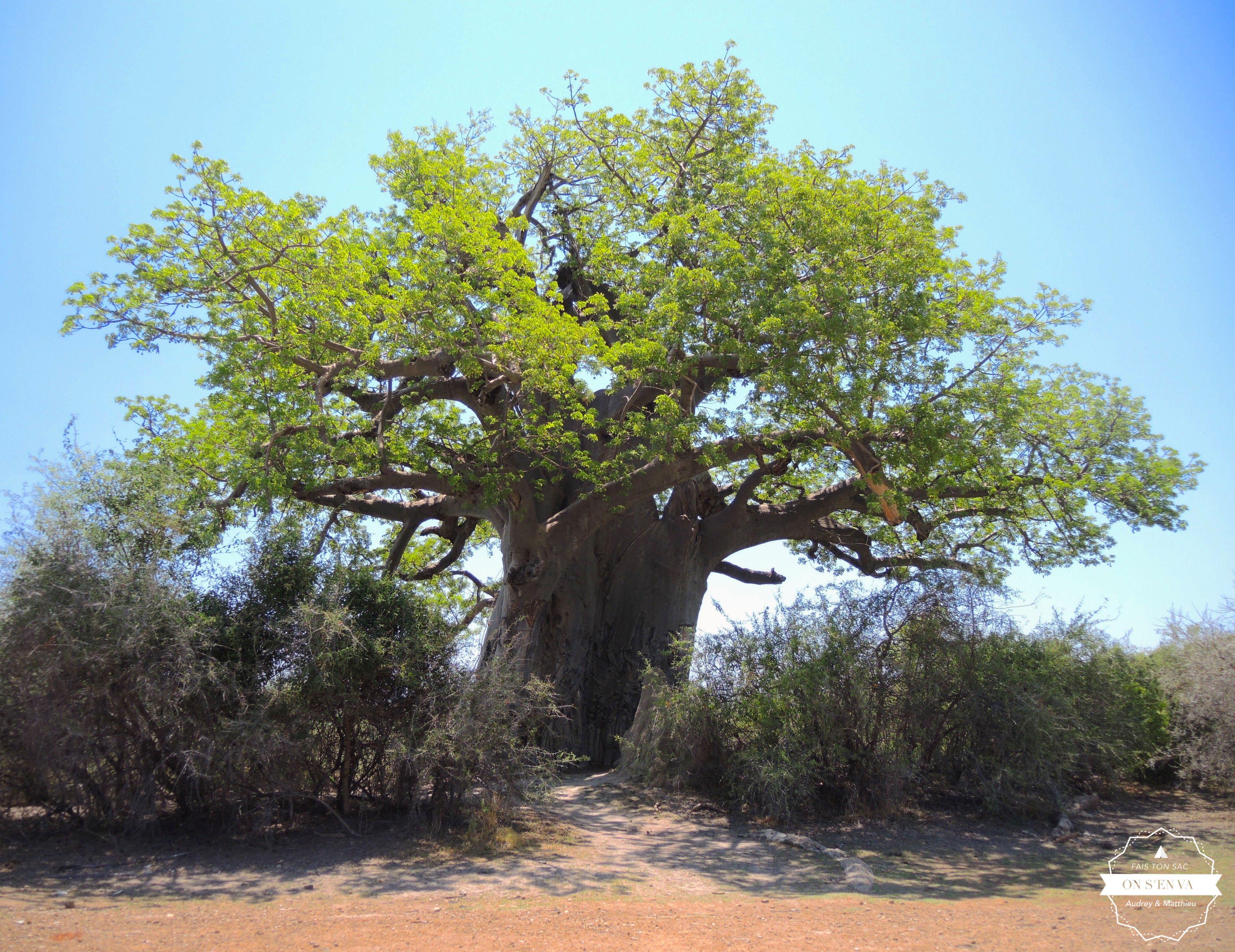 """""""Giant Baoboab"""""""
