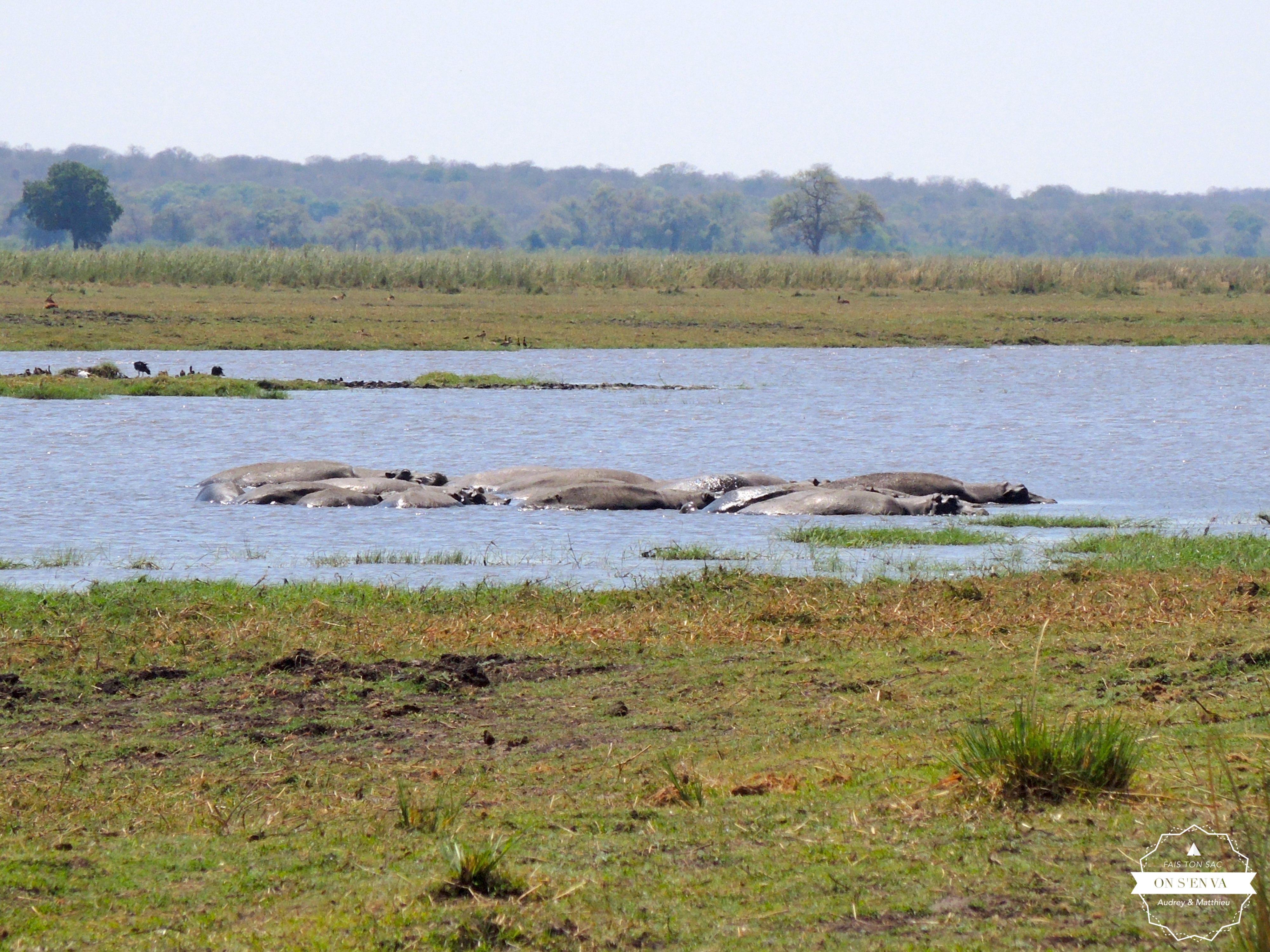 Les hippos toujours très actifs...