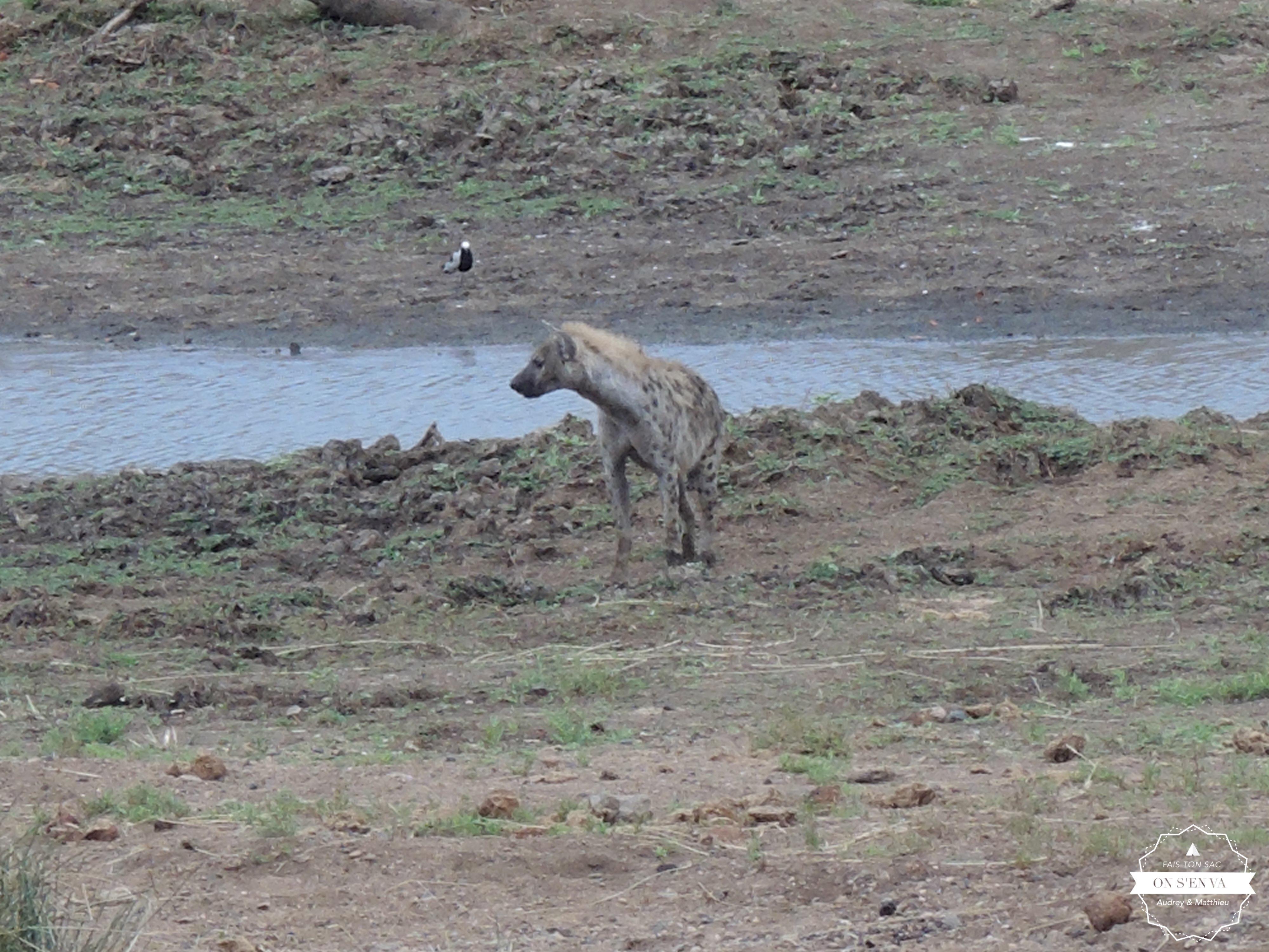 On commence par une hyène