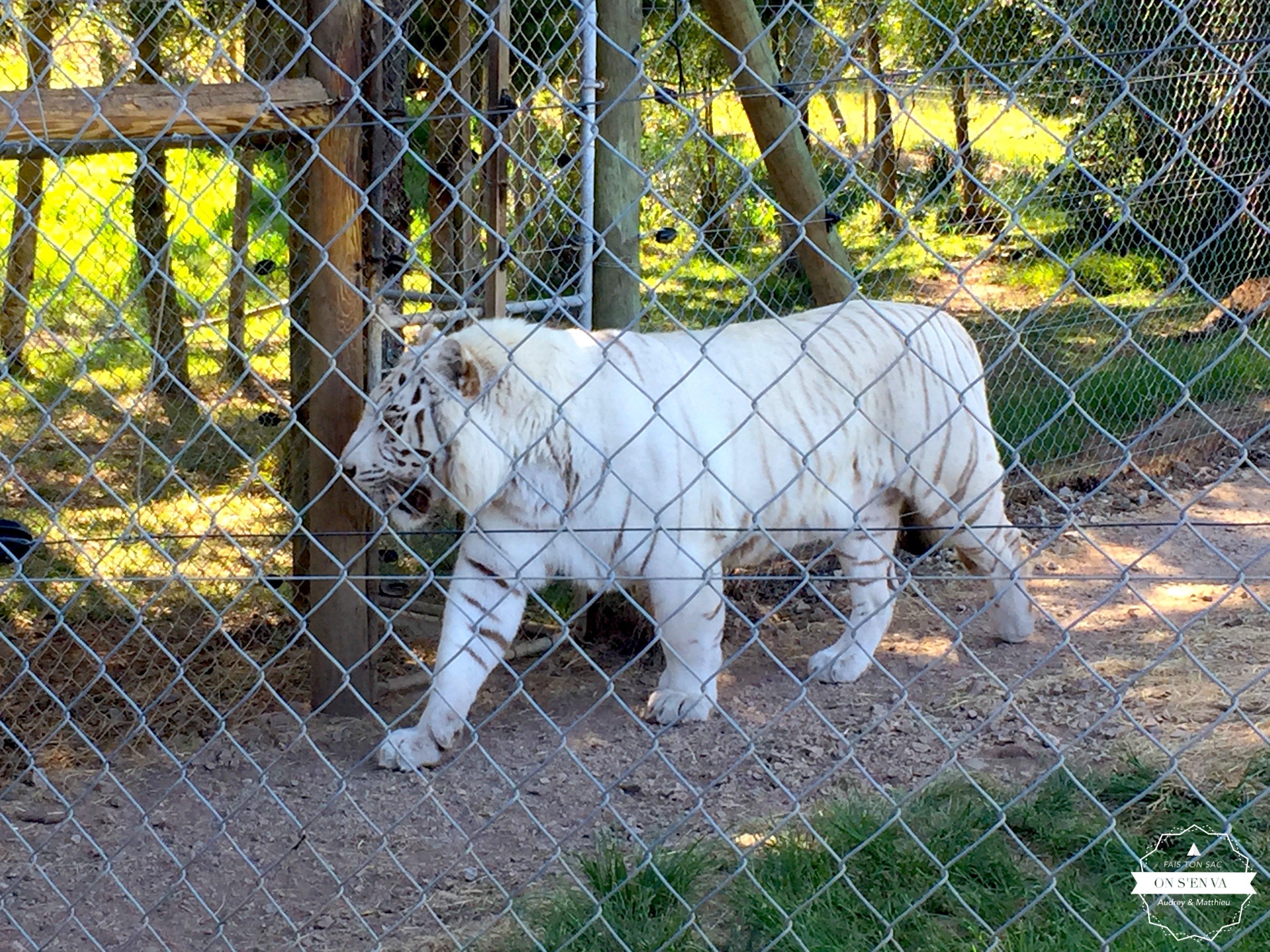 Tigre blanc, Jukani