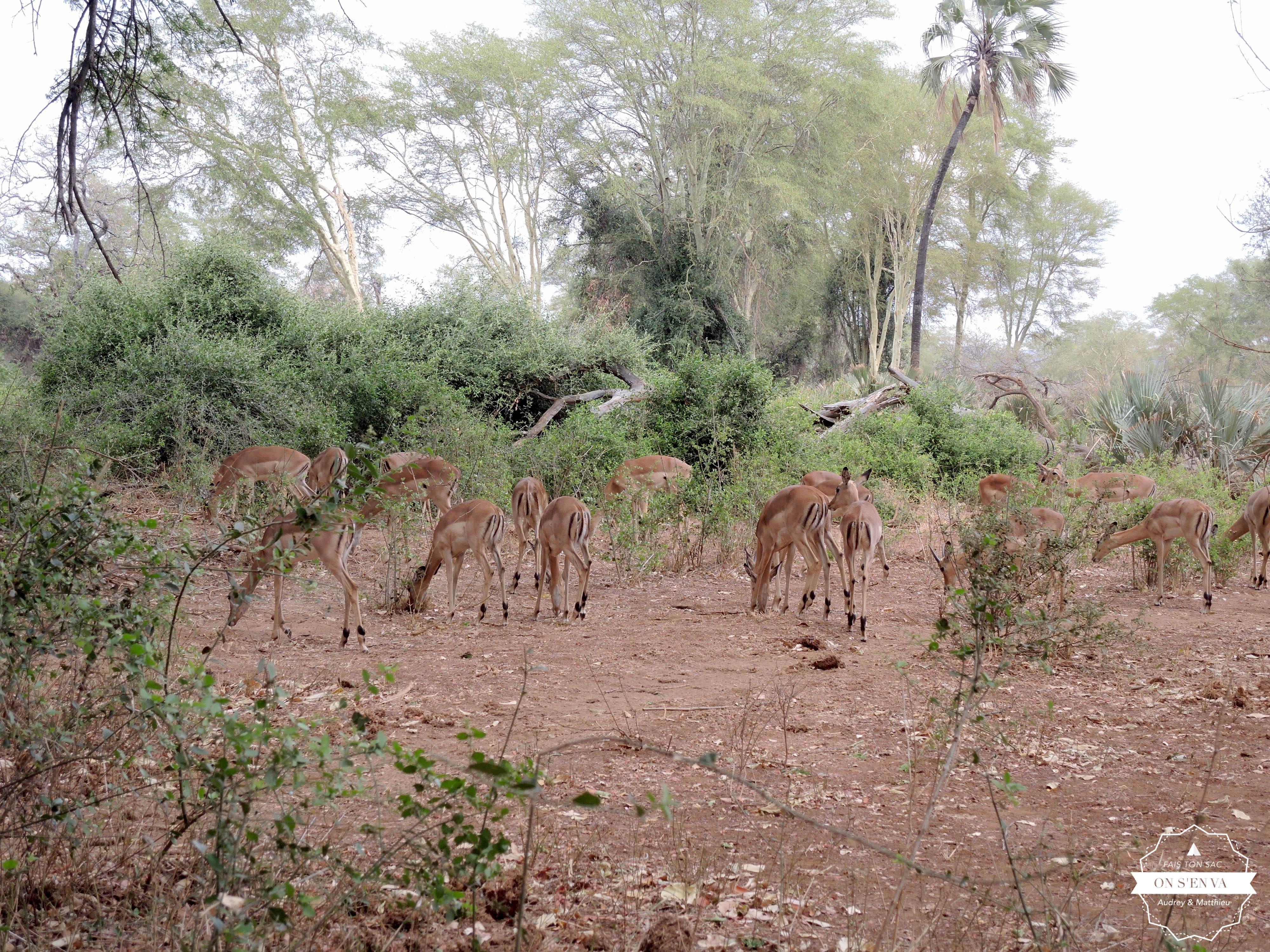 Des antilopes, quelle surprise!