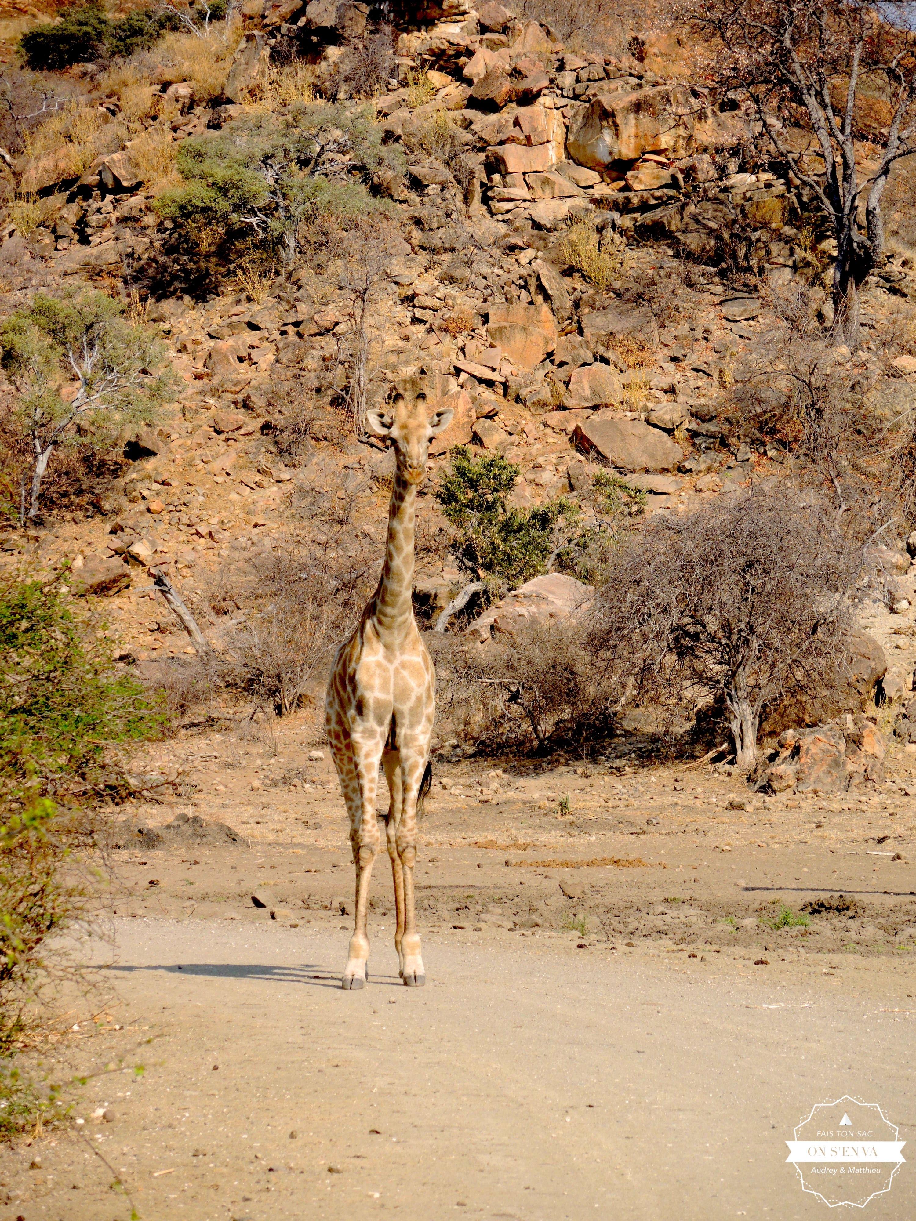Première girafe...
