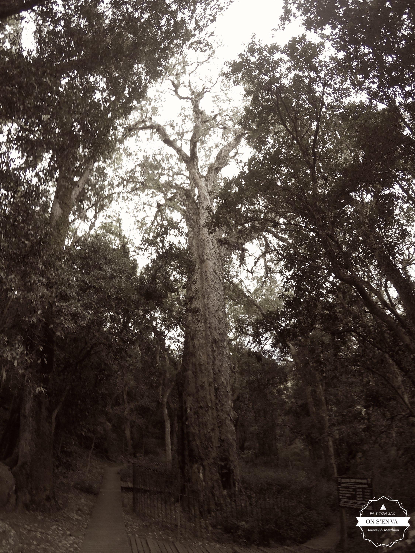 Le Big Tree d'Hogsback