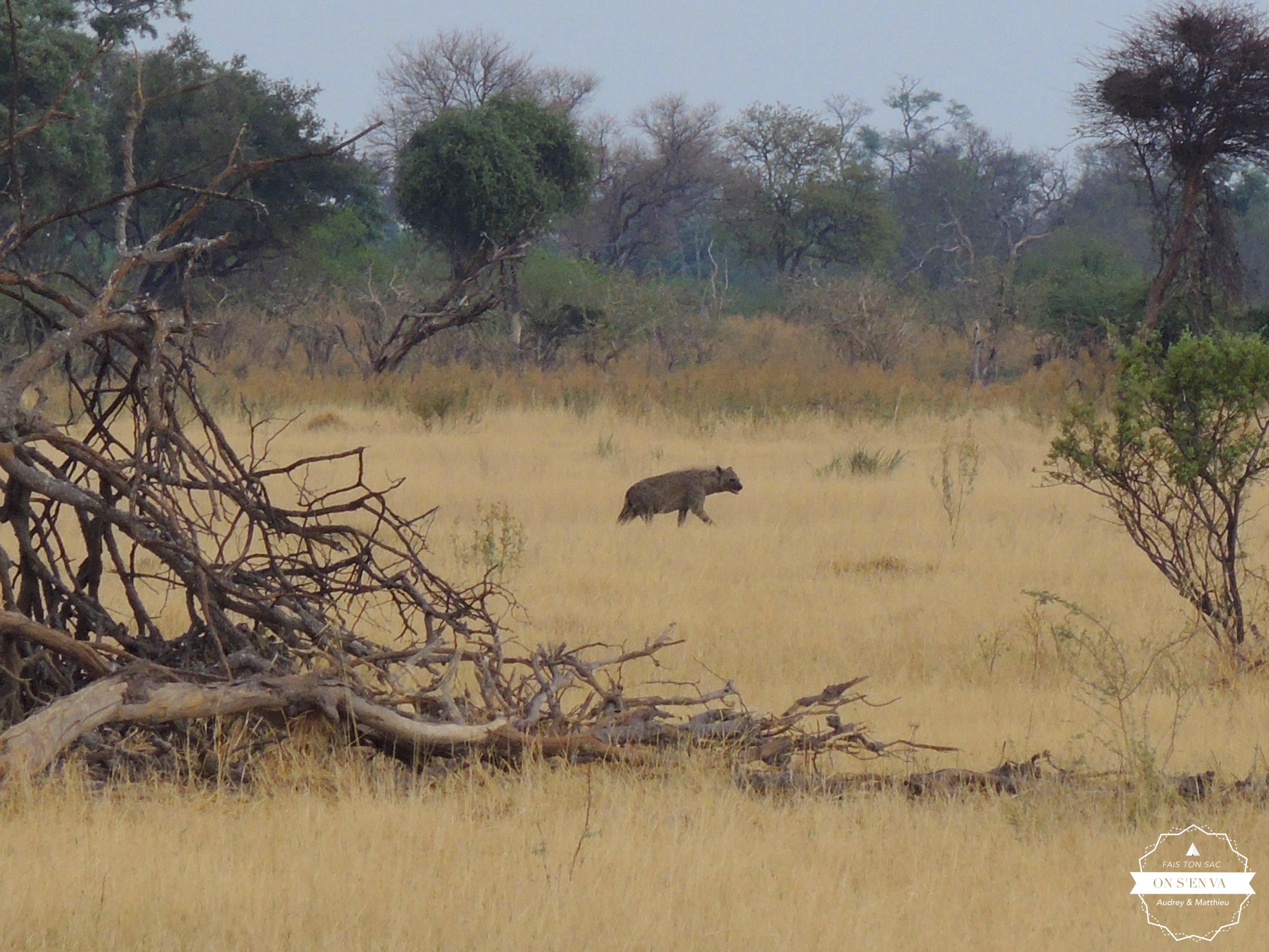 Une hyène au loin