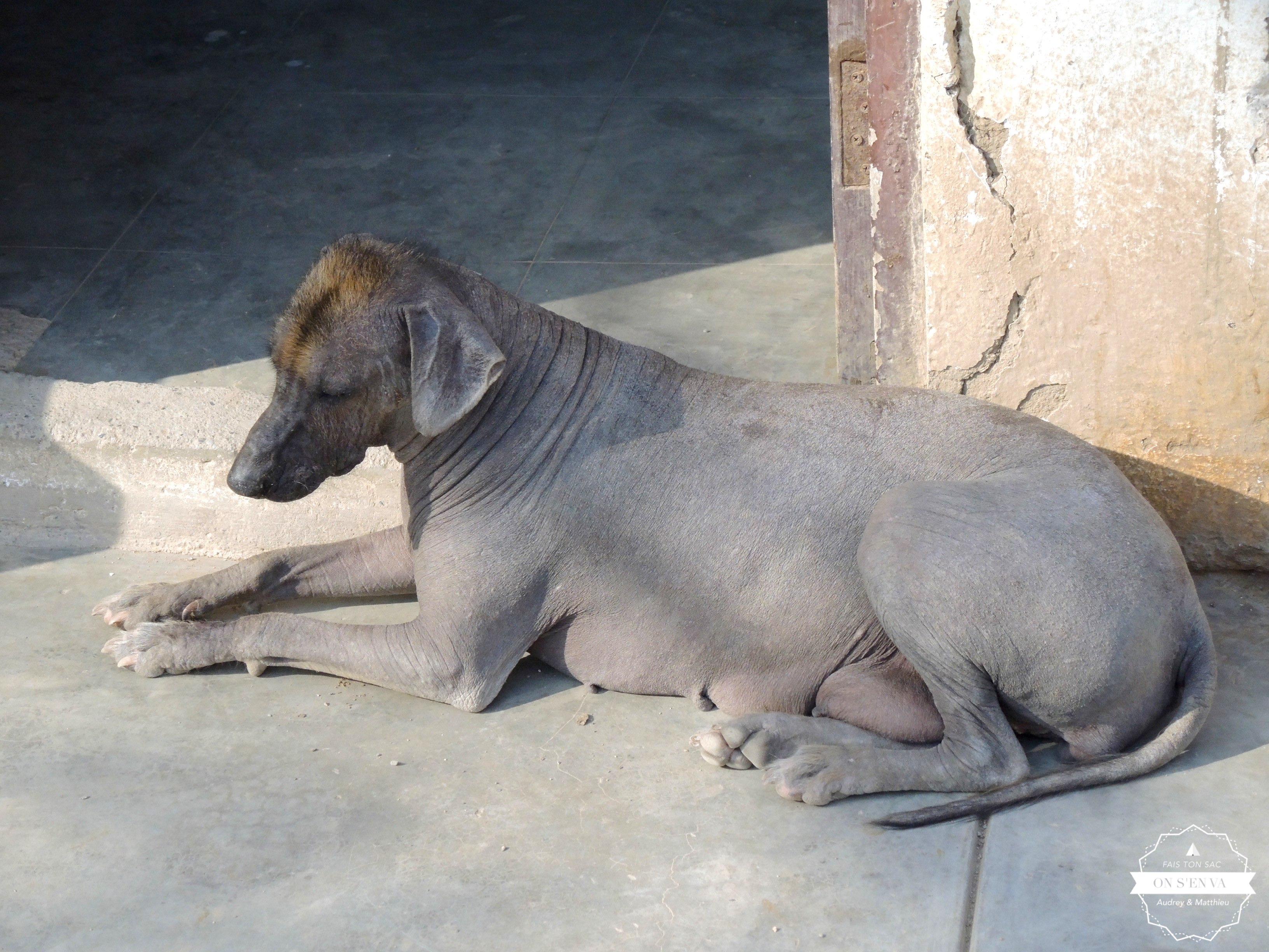 """Le chien """"peruano"""""""