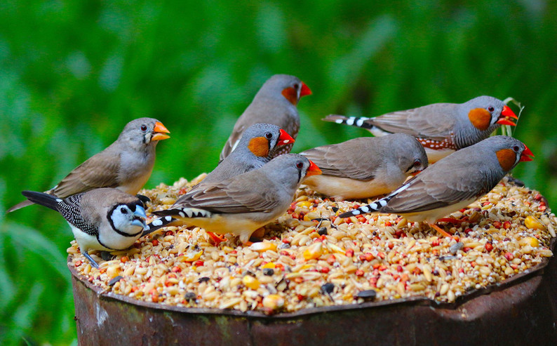 Finches in our yard