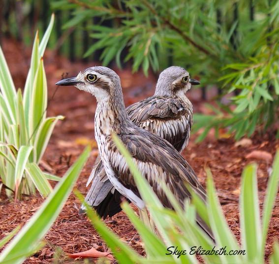 Bush Curlews