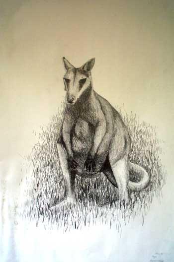 Rock Wallaby sketch