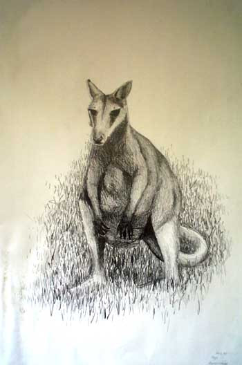 Rock Wallaby sketch