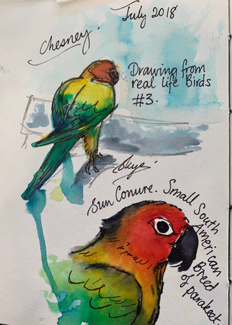 Life Drawing Chesney the Sun Conure