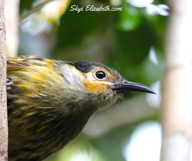 Close up honeyeater
