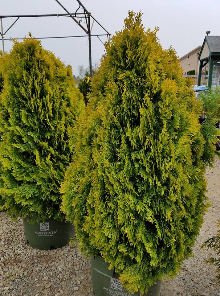 Arborvitae Highlights