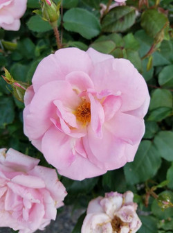 Peachy Knockout Rose