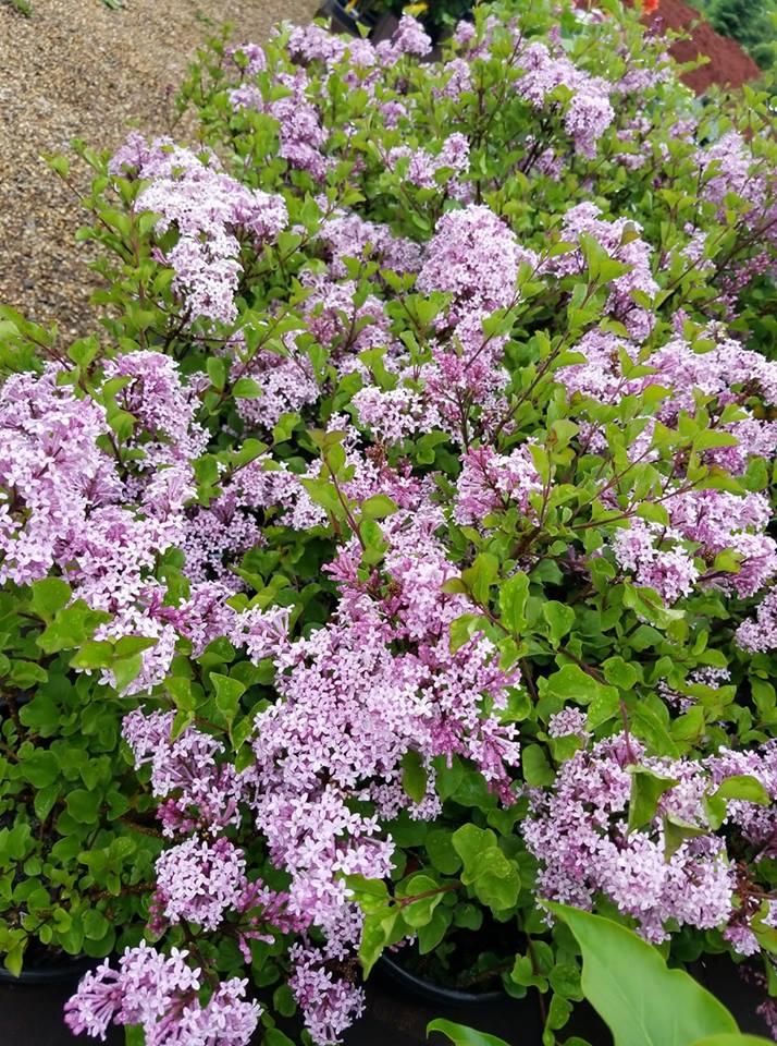 Dwarf Korean Lilacs