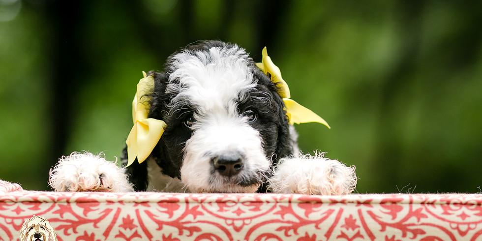Dolce's Charlotte Puppy Pickup