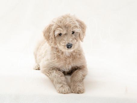 What Do I Need to Know Before Buying a Goldendoodle?