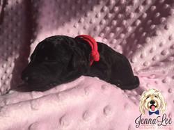 Pink Collar Mult-Gen Female