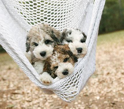 Puppy Deposit