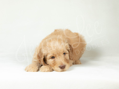 First Week With a Goldendoodle Puppy - Advice & Expectations