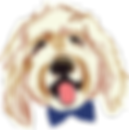 goldendoodle, goldendoodle puppies, charlotte goldendoodles, jennalee designer doodles, jenna lee, goldendoodle puppies, bowtie,