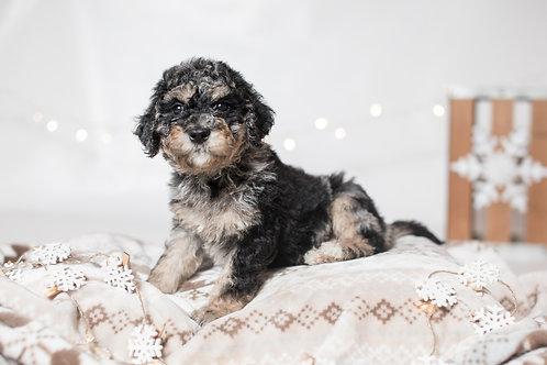 6-Week Intensive Puppy Preschool