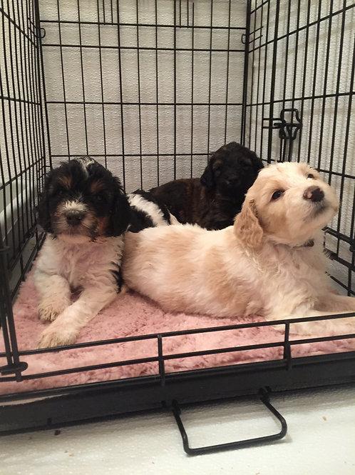3-Week Puppy Preschool