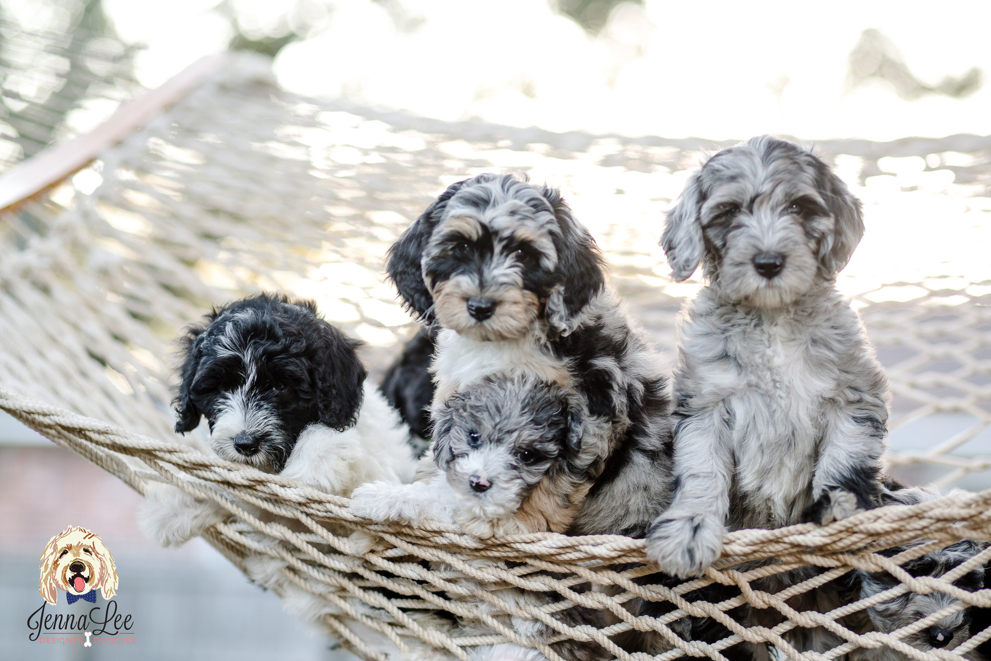 Goldendoodles Bernedoodles & Sheepadoodles for Sale | South