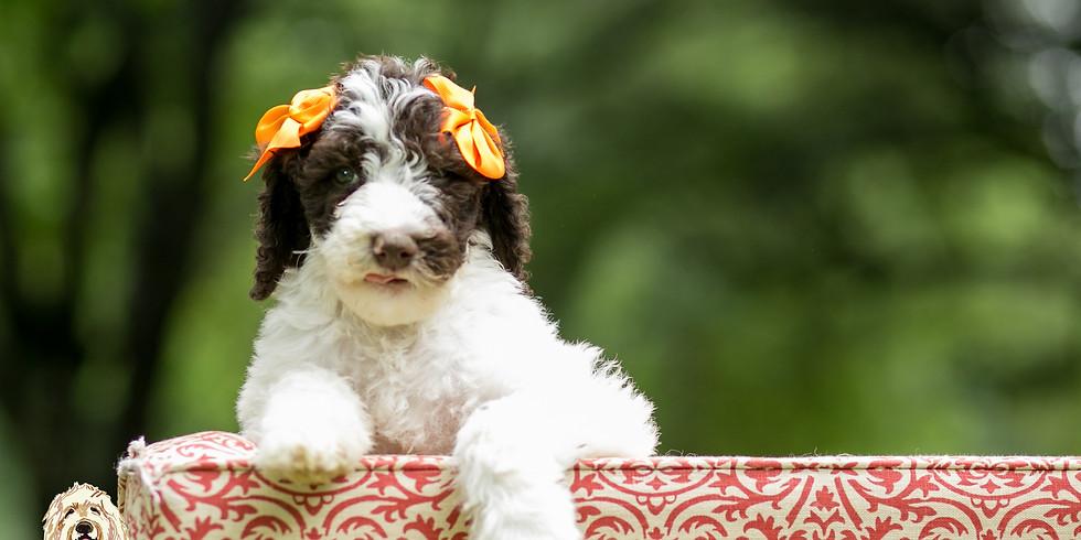 Dolce's Charleston Puppy Pickup