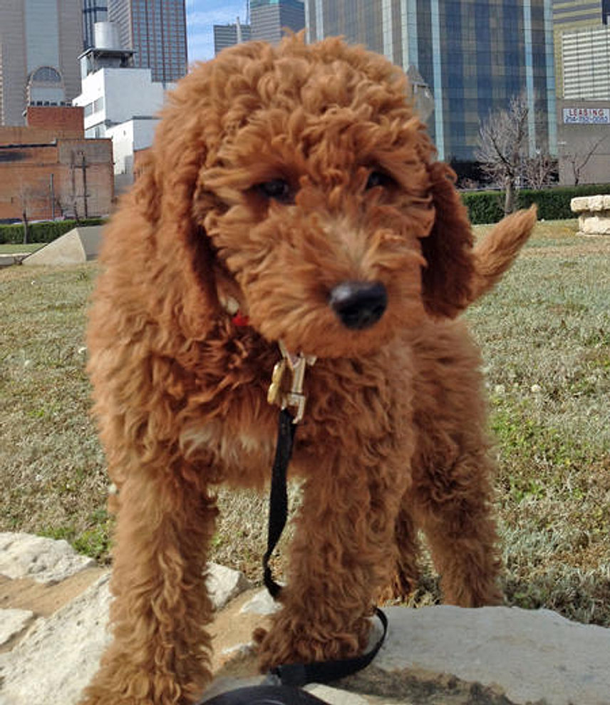 Frequently Asked Goldendoodle Amp Bernedoodle Questions
