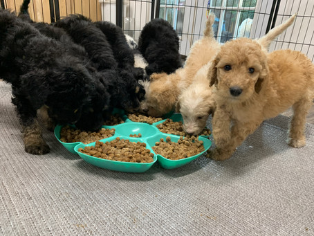 Why won't my doodle eat this summer?