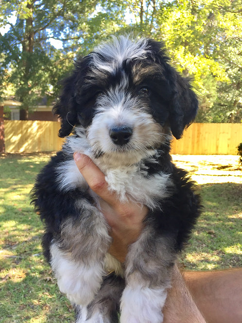 CoCo & Coach's Bernedoodles Fall 2017
