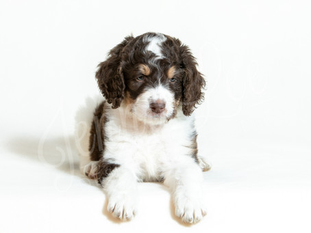 Puppy Health Tips from a South Carolina Doodle Breeder