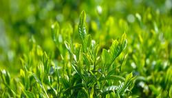 Matcha Plant