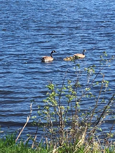 Goslings on coon lake