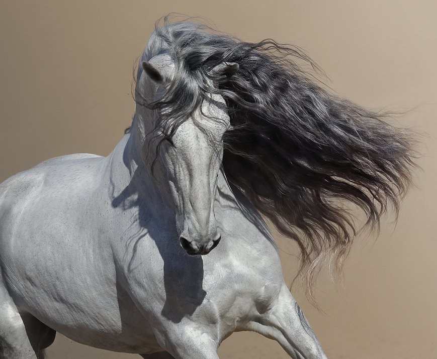 Close up portrait of white Andalusian ho