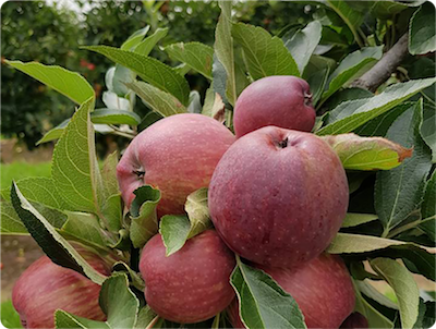 Slow recovery funding leaves bitter taste for Bilpin apple farmer