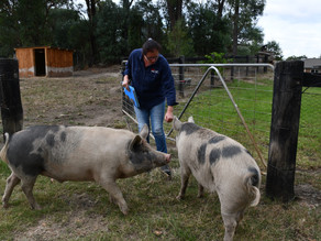 """""""Teacup pigs"""" don't exist warns Local Land Services as porkers quickly outgrow the backyard"""