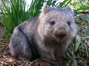 Koalas and wombats on the move – locals call for signs and for motorists to slow down after deaths